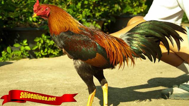 Cara Melihat Ekor Khusus Ayam Aduan