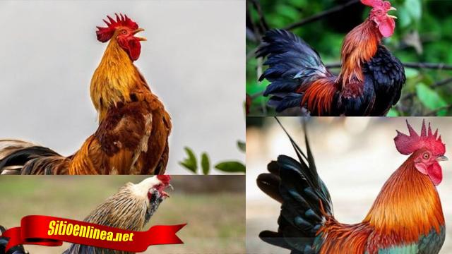 Fakta Terlengkap Tentang Ayam