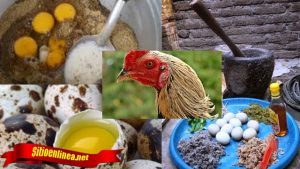 Rawat Ayam Anda Sebelum Pergi Bertanding