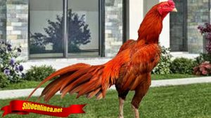 Trik Menernak Ayam Tarung
