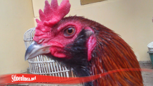Ayam Tarung S128 Berkumis