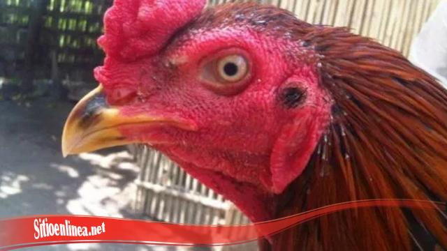 Cepat Sembuhkan Mata Ayam S128 Terluka