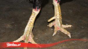 Otot Kaki Ayam SV388 Besar