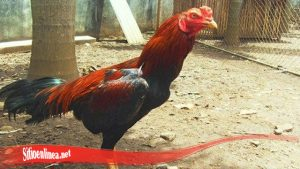 Tumbuh Lebat Kembali Ayam SV388