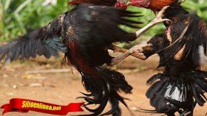 Jurus Bongkar Mematikan Dari Ayam Bangkok