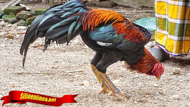 Kenali Gerak-Gerik Ayam Sebelum Bertarung